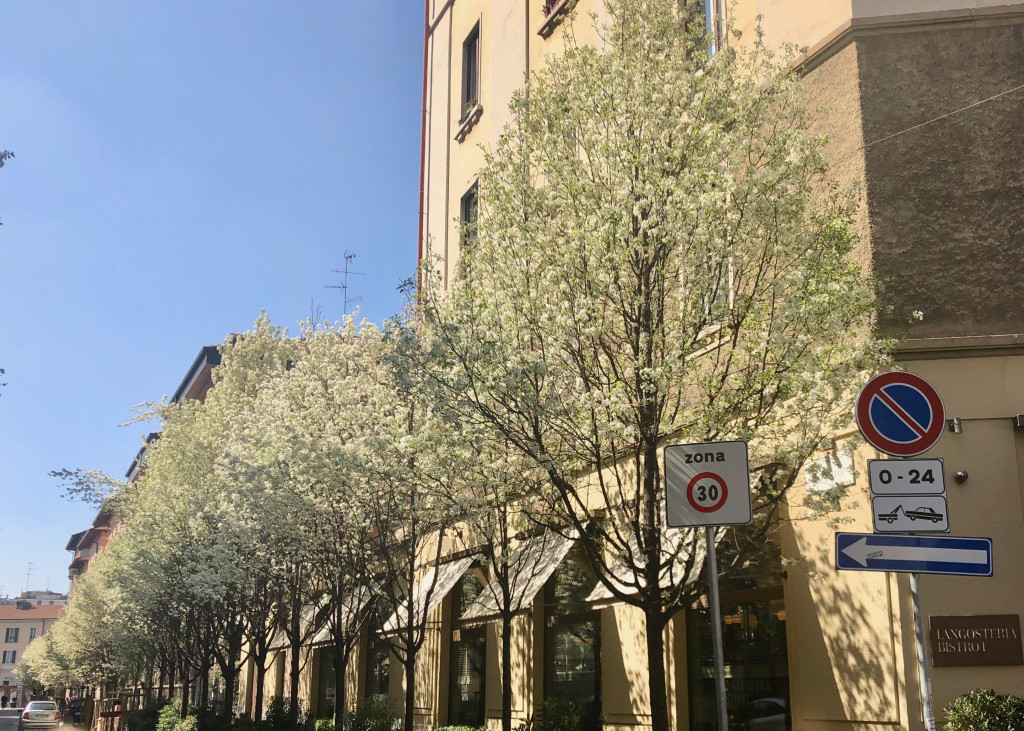 Allee aus weißem Blütenmeer in Mailand